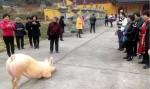 Chú lợn 'quỳ lạy' Phật  trước cổng chùa hàng tiếng đồng hồ