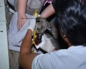 Đoàn cứu trợ bật khóc khi gỡ băng keo cho chú chó bị hoại tử mõm