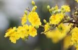 Hoa mai của mùa xuân muôn đời